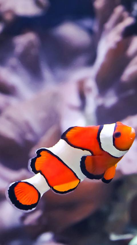 Clownfish wallpapers android apps on google play for Buy clown fish