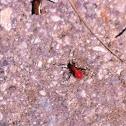 Eastern boxelder bug (nymphs)