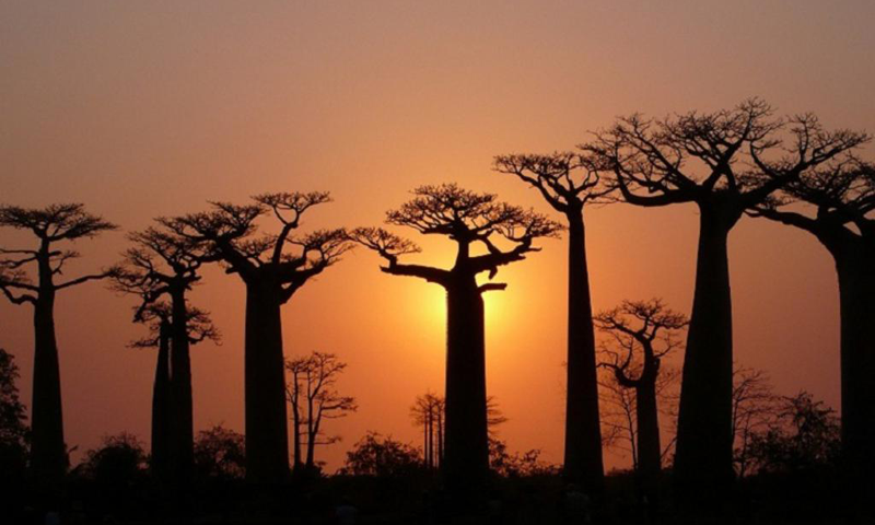 Baobab Wallpapers- screenshot