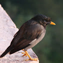Blue iris Jungle Myna