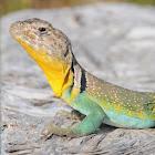 Eastern collared lizard (male - breeding colors)