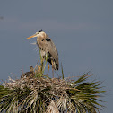 Great Blue Heron and baby
