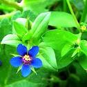 Scarlet Pimpernel - the blue variety