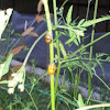 Asain lady beetle pupa
