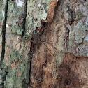 Bark Huntsman Spider