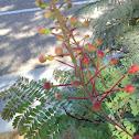 Desert flower buds