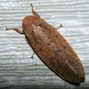 Gyponine Leafhopper
