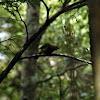 Korimako, or New Zealand Bellbird
