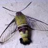 Pellucid hawk-moth
