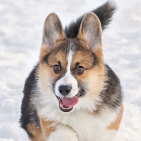 Puppy energy by Mia Ikonen - Animals - Dogs Puppies ( finland, excited, fun, cute, expressive, canine, winter, pet, happy, snow, pembroke welsh corgi, action, puppy, dog, mia ikonen,  )