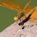 Mexican Amberwing (female)