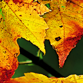Maple Leaves by Robin Amaral - Nature Up Close Leaves & Grasses ( autumn leaves, new england, foliage, branch, leaves, maple leaves,  )