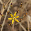 Common Goldenstar