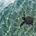 Bali Sea Turtle