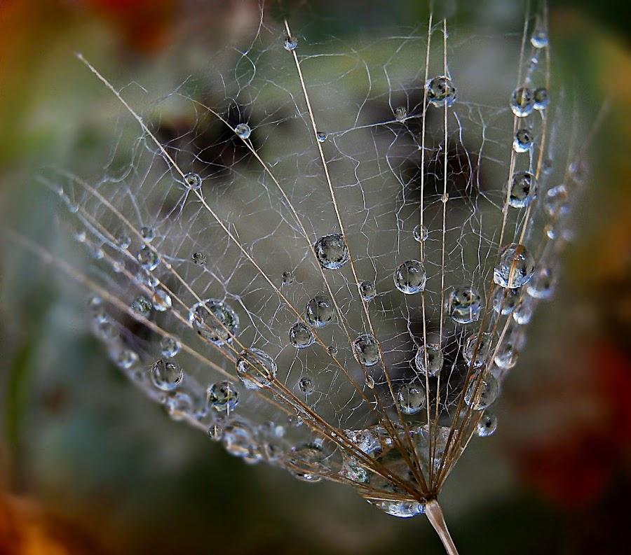 Magic Eyes In The Mirrors by Marija Jilek - Nature Up Close Natural Waterdrops ( water, mirrors, (magic) eyes, nature, seed, goat-beard, drops, plants, natural waterdrops )