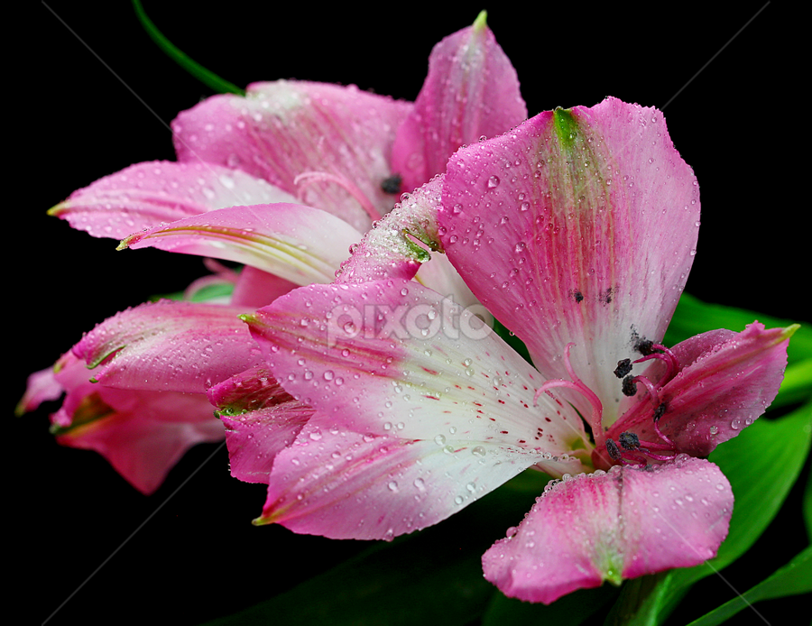 Alstroemeria by Dipali S - Flowers Flower Arangements ( plant, detail, seasonal, bright, botany, beauty, botanical, spring, pretty, blossom, close, macro, nature, fresh, pink, alstroemeria, head, closeup, flower, blooming, flora, beautiful, bloom, easter, season, color, freshness, garden, natural, floral )