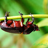 Rhinoceros beetle.