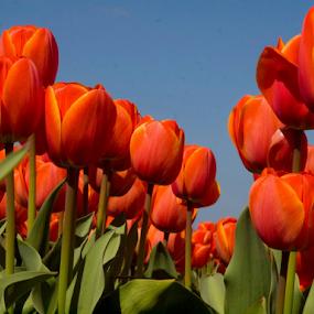 Tulip 11 by BertJan Niezing - Flowers Flower Gardens ( tulip, summer, flowerfield, flower, sun )