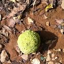osage orange or hedge apple
