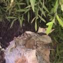 Rain Spider (Huntsman Spider)