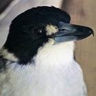 Grey Butcherbird
