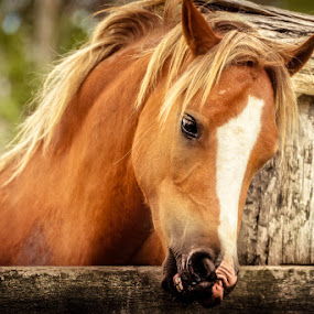 Brown Beauty by Esther Visser - Animals Horses (  )