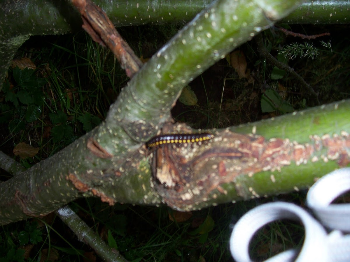 Yellow Spotted Millipede