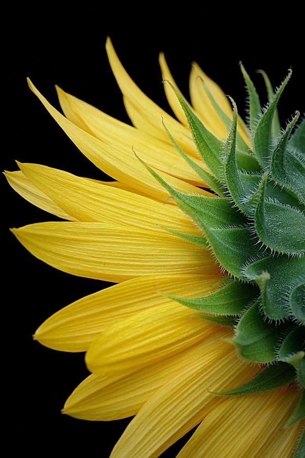 Sun Flower  by Harjono Djukyanto - Flowers Single Flower