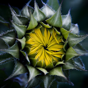 Sunflower Sunrise by Lynn Wiezycki - Nature Up Close Flowers - 2011-2013 ( helianthus annuus, petals, sunflower, yellow, bud, flower )