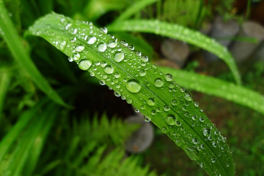 by Ray Bolang - Nature Up Close Leaves & Grasses ( macro, leave, rainnig )