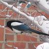 Eurasian Magpie, European Magpie or Common Magpie