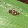 Spiny beetle / Rice hispa / Mule vandu