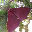Pygmy Emperor Moth