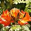 रुद्र पलाश African Tulip Tree
