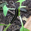 Yellow-striped Armyworm