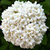 Fragrant Viburnum