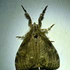 White-marked tussock moth (male)