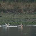 spot billed palican