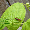 candy-striped leafhopper