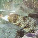 Snowflake Moray Eel