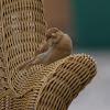 Blonde House Sparrow