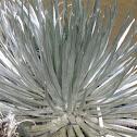 'Ahinahina (Silversword)