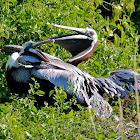 Brown Pelicans (mating)