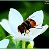 Phytomia Hoverfly ♂