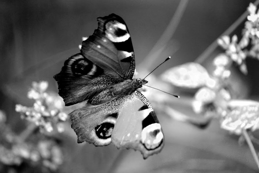 Black and White Butterfly by Nikki Wilson - Black & White Animals ( butterfly, nature, black and white, insect, animal )