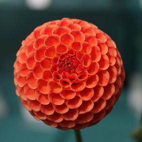by Frank Gualtieri - Flowers Single Flower (  )