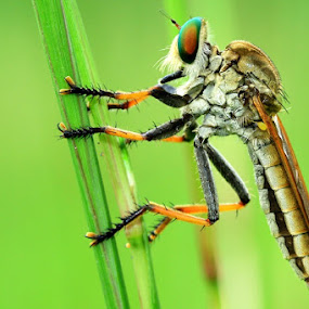 Robberfly by Edwin Yepese - Animals Other ( macro photography, insect, animal )