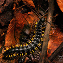 Black & Yellow Millipede