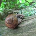 Wijngaardslak - Roman snail
