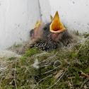 Eastern Phoebe Baby Birds
